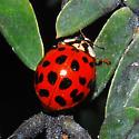 Multicolored Asian Lady Beetle - Harmonia axyridis