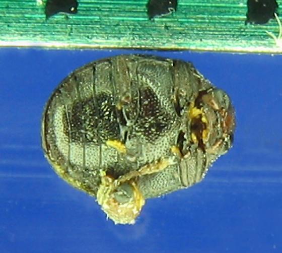 Tiny, dead, reddish-black lightbulb beetle - Caenocara