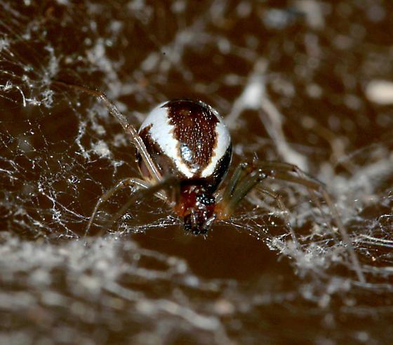 Spider - Frontinella pyramitela