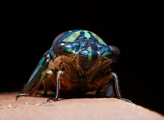 Cicada ID please - Neotibicen lyricen