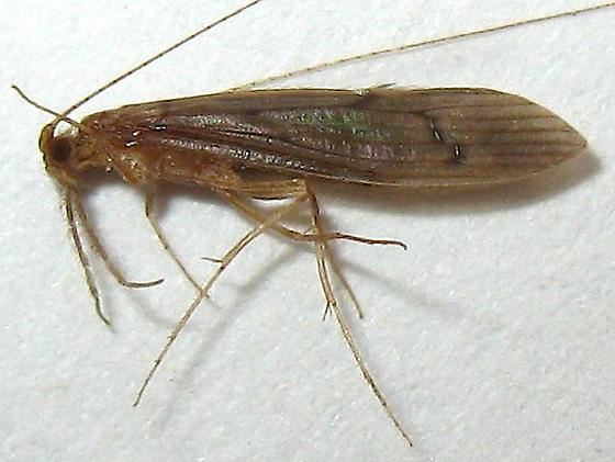 Caddisfly - Oecetis inconspicua - female