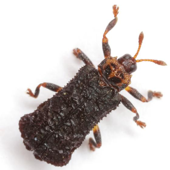 Octotoma plicatula (Fabricius) - Octotoma plicatula