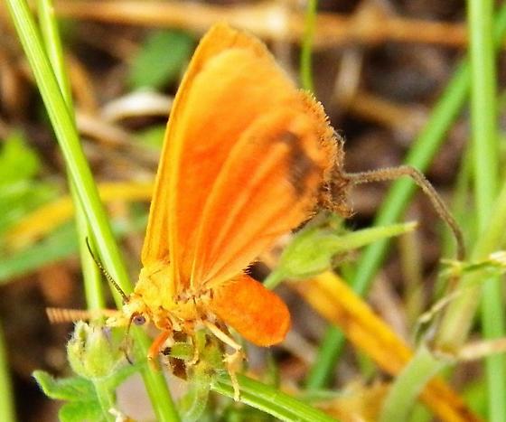 Virbia sp. ? - Virbia aurantiaca