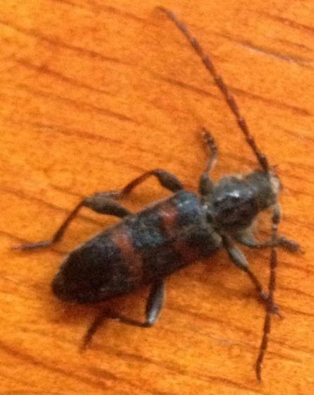bug - Semanotus amplus