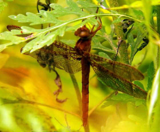 Dark Brown Dragonfly - Neurocordulia xanthosoma