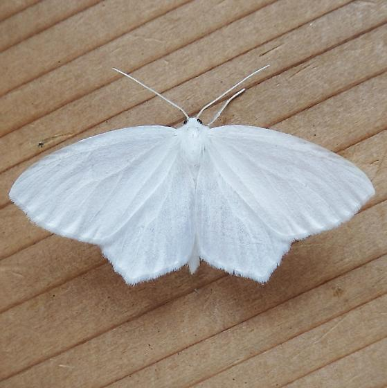 Geometridae: Eugonobapta nivosaria - Eugonobapta nivosaria