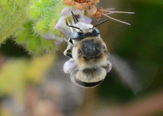 Bee for ID. Ya gotta love those baby blue sweat pants! - Anthophora urbana - female