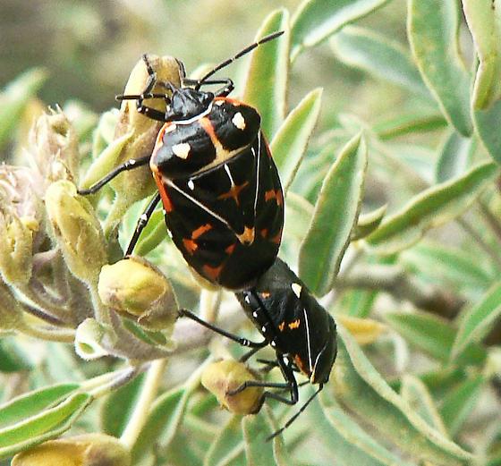 Black and orange bug - Murgantia histrionica