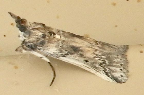 Moth B  side 10.14.17 - Alberada franclemonti
