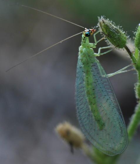 Green Lacewing - Chrysopa oculata