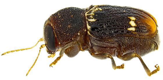 Pachybrachis