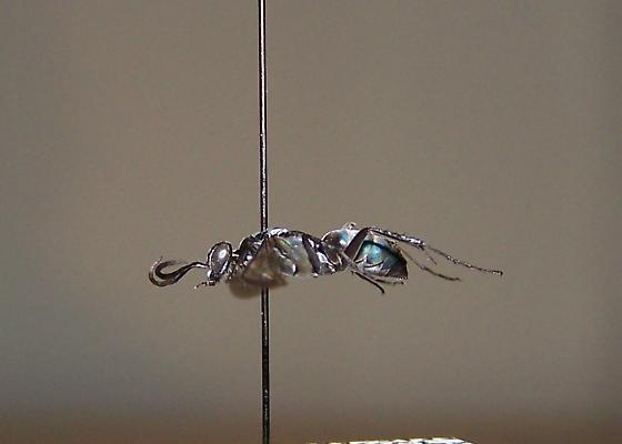 Evagetes padrinus minusculus - Evagetes padrinus - female