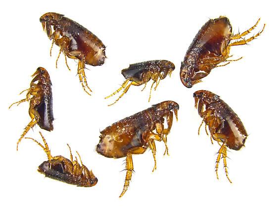 Ctenocephalides felis felis? - Ctenocephalides felis - male - female