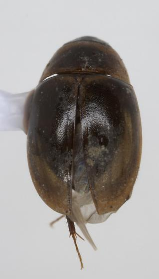 Unknown Beetle - Enochrus
