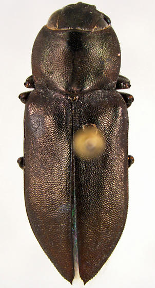 Melanophila atropurpurea (Say) - Melanophila atropurpurea