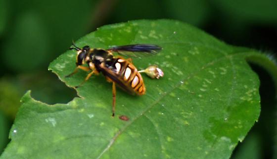 Wasp or Fly?  - Somula decora