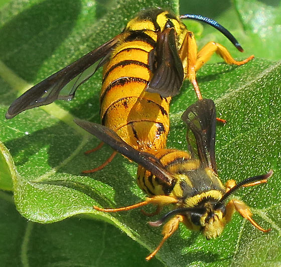 Hornet Clearwing - Paranthrene simulans - male - female