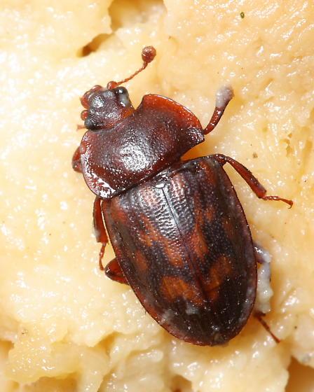 Sap Beetle - Phenolia grossa