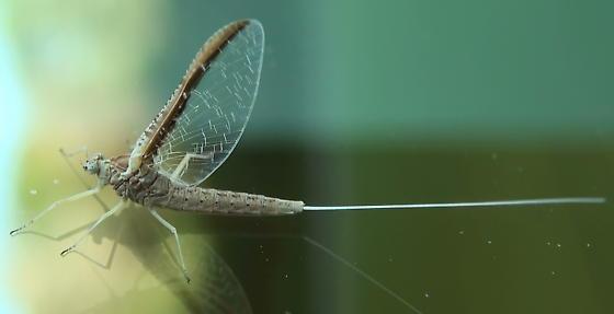 Unknown Mayfly - Callibaetis skokianus
