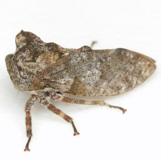 Microcentrus perditus (Amyot & Serville) - Microcentrus perditus