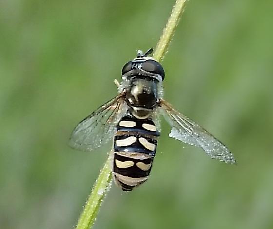 Hoverfly - Eupeodes volucris - female