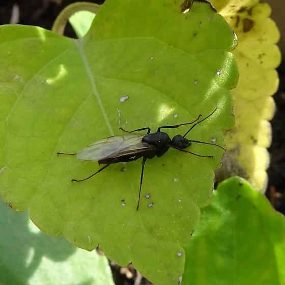 Around the garden this morning - Camponotus