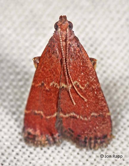 Pyralid Moth - Heliades mulleolella