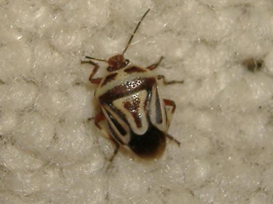 Perillus - Perillus bioculatus