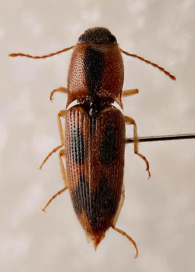 Clicker - Aeolus scutellatus