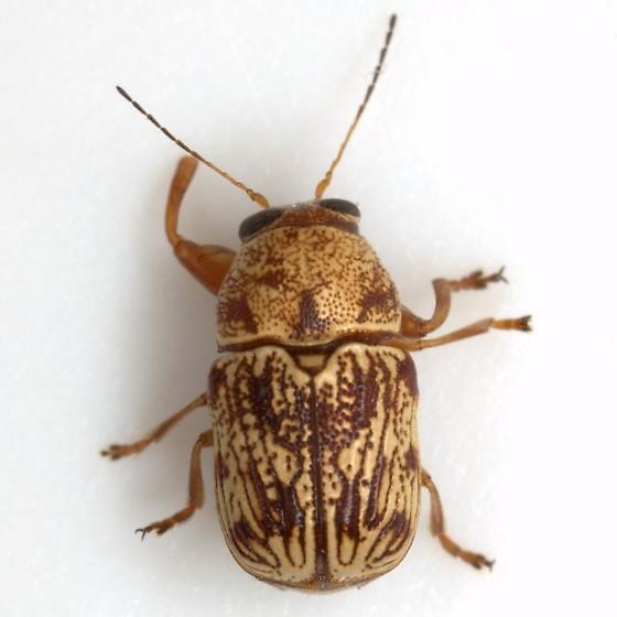 Pachybrachis turbidus LeConte - Pachybrachis turbidus