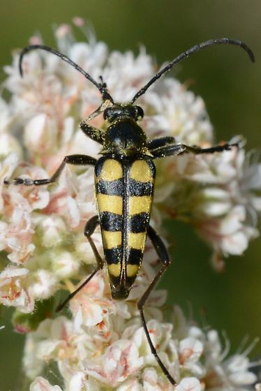 Golden Long Horned Beetle - Stenostrophia tribalteata
