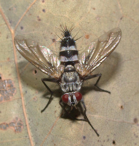Fly ID Request - Zelia - female