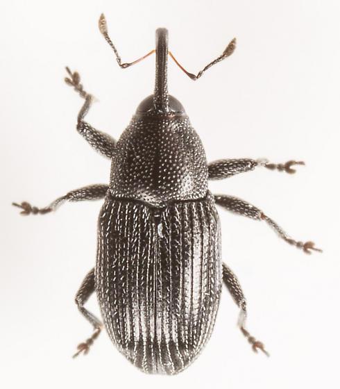 Beetle - Sibariops - male