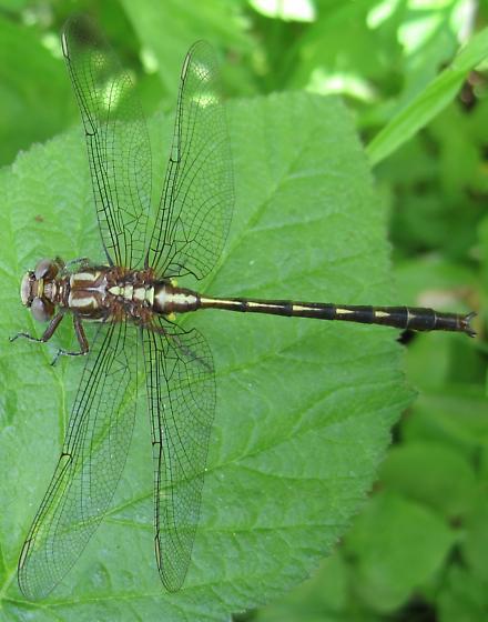 Dusky Clubtail, dorsal view - Phanogomphus lividus - male