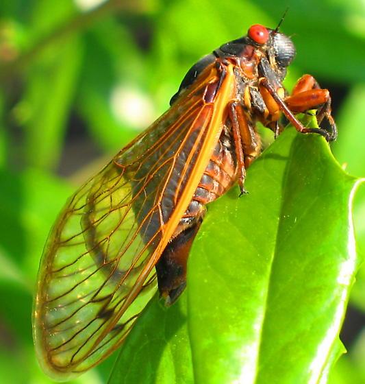 Periodic cicada...what species? Images from May 2011 - Magicicada tredecim