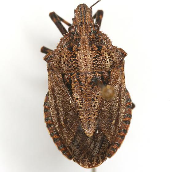 Brochymena lineata Ruckes - Brochymena lineata