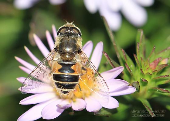 Syrphidae - Eristalis arbustorum