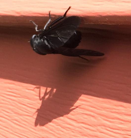 Large black fly - Tabanus atratus