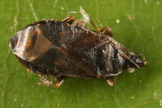 Minute Pirate Bug - Lyctocoris stalii