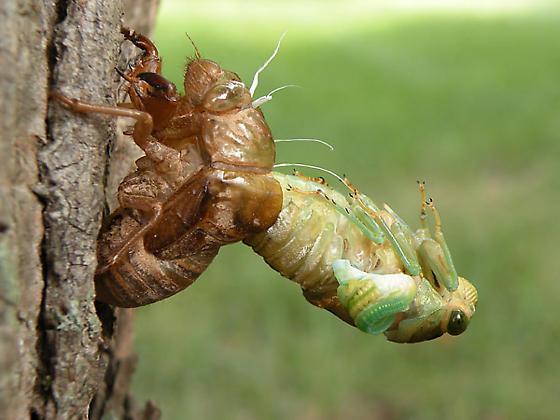 Cicada Molting - Neotibicen tibicen