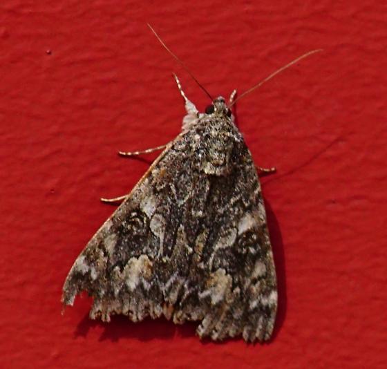 Moth at Malheur Wildlife Refuge - Catocala irene