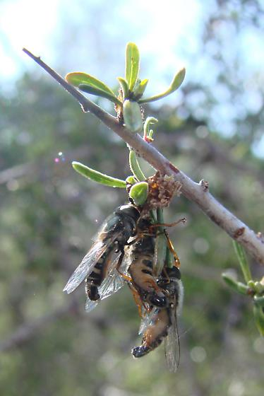 Multitudes of bees in desert almond...and aphids too - Eupeodes volucris - male