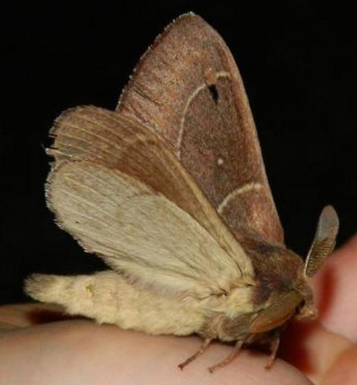 Moth #2 - Dicogaster coronada - male