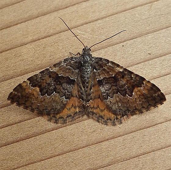 Geometridae: Epirrhoe plebeculata - Epirrhoe plebeculata