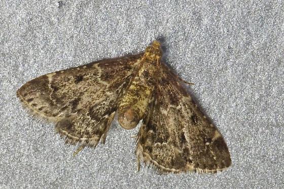 kitchen moth - pyralis manihotalis - bugguide