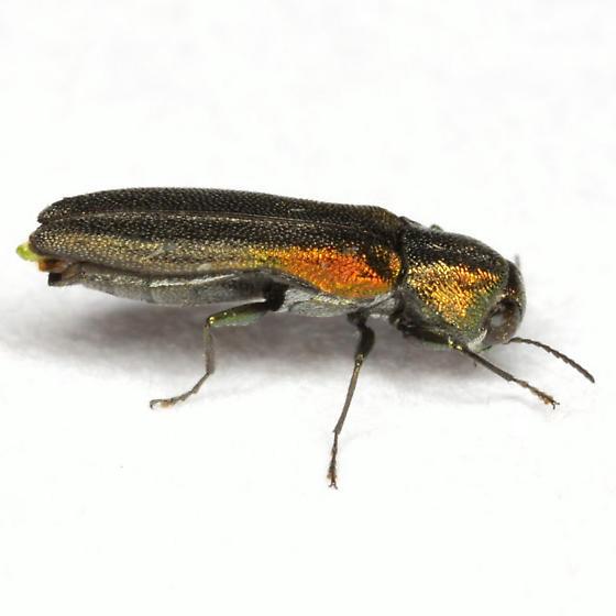 Agrilus delicatulus Waterhouse - Agrilus delicatulus