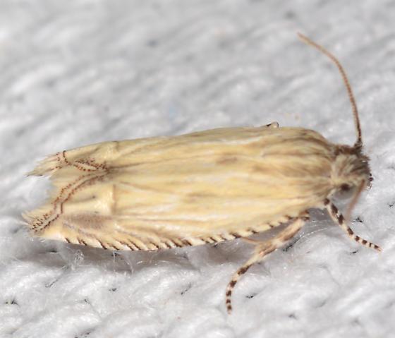 Eucosma grindeliana