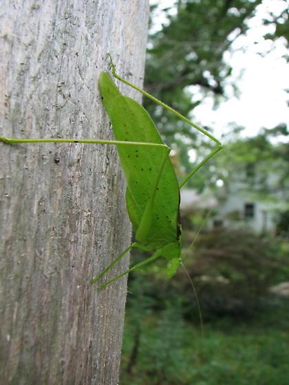 Amblycorypha? - Amblycorypha oblongifolia - male