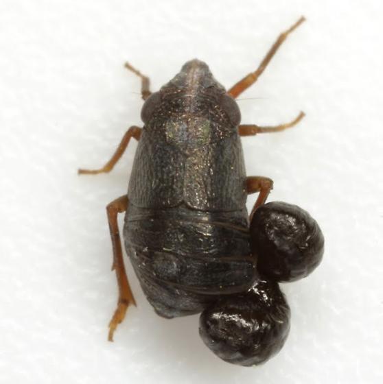 Bruchomorpha oculata Newman - Bruchomorpha oculata