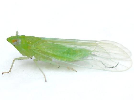 West Indian Canefly - Saccharosydne saccharivora - female